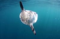 Wow! Ilmuwan Temukan Spesies Ikan Raksasa