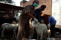 Awas, Hewan Kurban Cacat Masih Ditemukan di Mojokerto